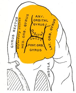 Orbitofrontal cortex - Orbital surface of left frontal lobe.