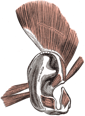 The muscles connected to the ears of a human d...