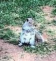Gray Squirrel North Potomac.jpg