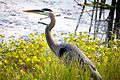 Great Blue Heron (Ardea herodias) (6998568857).jpg