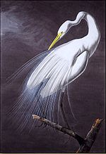 Great Egret Audubon 1821.jpg