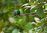 Green Thorntail 1.jpg