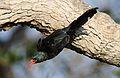Green Wood Hoopoe, Phoeniculus purpureus, at Mapungubwe National Park, Limpopo, South Africa (30192405745).jpg