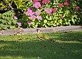 Green Woodpecker (Picus viridis) - geograph.org.uk - 982850.jpg