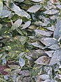 Green leaves with yellow marks in dc garden.jpg