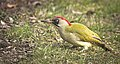 Green woodpecker (51102515962).jpg