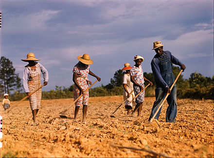 Hoeing a cotton field to remove weeds, Greene County, Georgia, USA, 1941 - Cotton