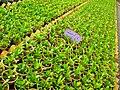 Greenhouses in mahallat 11.jpg