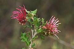 Grevillea aquifolium 2.jpg