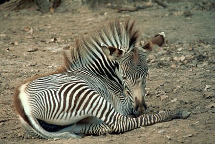 Gr 233 vy s zebra foal equus genus