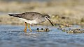 Grey-tailed Tattler (Tringa brevipes) (40338840100).jpg