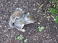 Grey Squirrel - geograph.org.uk - 408084.jpg