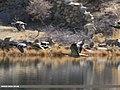 Greylag Goose (Anser anser), Mallard (Anas platyrhynchos) & Northern Pintail (Anas acuta) (42275994705).jpg