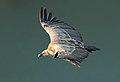 Griffon vulture - Vale Gier - Gyps fulvus.jpg