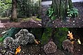 Grifola frondosa (GB= Hen of the Woods, D= Klapperschwamm, F= Polypore en touffes, NL= Eikhaas), white spores and causes whiterot. Very well known in Japan as MAITAKE - panoramio.jpg