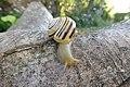 Grove snail Cepaea nemoralis, yellow banded form (12345).jpg