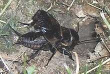Cricket (insect) - Wikipedia