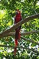 Guacamaya roja en la Selva Lacandona.jpg