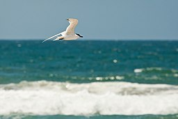 Gull-billed tern (9154177138).jpg