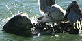 Gull attacking sea otter.jpg