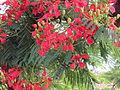 Gulmohar Flower.JPG