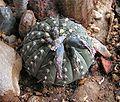 Gymnocalycium stellatum20090705 50.jpg