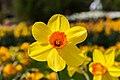 Híbrida de Narcissus 'Red Devon', Jardín Botánico de Múnich, Alemania, 2013-05-04, DD 01.jpg