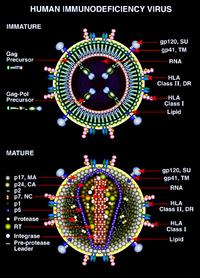 ВИЧ инфекция Википедия Незрелая и зрелая формы ВИЧ стилизованное изображение