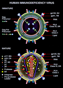 diagram of the immature and mature forms of hiv