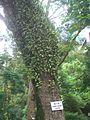 HKU Campus Tree Jacaranda mimosifolia 1.JPG