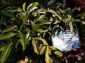 HK 香港公園 Hong Kong Park 植物 樹木 plant tree green leaves December 2020 SS2 10.jpg