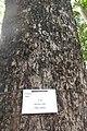HK CWB 高士威道 Causeway Bay Road 維多利亞公園 Victoria Park tree Sept 2017 IX1 33.jpg