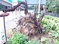 HK YMT 油麻地 Yaumatei 加士居道 Gascoigne Road October 2018 SSG 02 tree root after storm.jpg