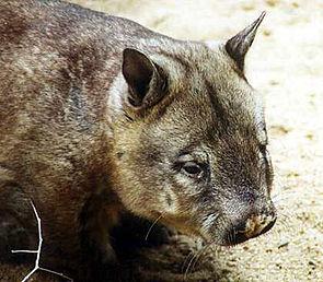 Haarnasenwombat (Lasiorhinus krefftii).jpg