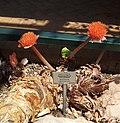 Haemanthus coccineus - Kirstenbosch 5.jpg