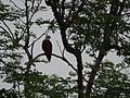 Haliastur indus (Brahminy Kite) (3690366869).jpg