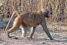 Hamadryas baboon (Papio hamadryas) female.jpg