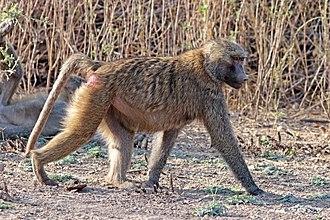 Hamadryas baboon - Female, Awash National Park, Ethiopia