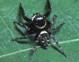 <i>Hasarius</i> genus of arachnids
