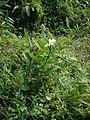 Hedychium coronarium P1130247 08.jpg