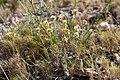 Helichrysum stoechas (Prakthedblomster) -3017 - Flickr - Ragnhild & Neil Crawford.jpg