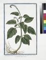 Heliotropium Americanum, cæruleum, foliis Horminii - Herbe aux verrues. (Heliotrope, Cherry pie) (NYPL b14444147-1125064).tiff
