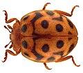 Henosepilachna reticulata reticulata (Olivier, 1791).jpg