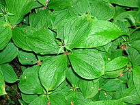 Herb Paris in flower.JPG