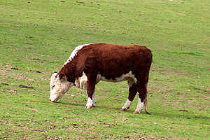 Cattle feeding - A Hereford cow eating grass