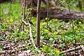 Hermit thrush (33304725960).jpg