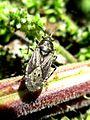 Heterogaster urticae (Lygaeidae sp.), Elst (Gld), the Netherlands.jpg