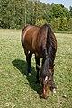 Hevoset kesälaitumella 7.jpg