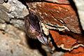 Hibernating Plecotus auritus.jpg