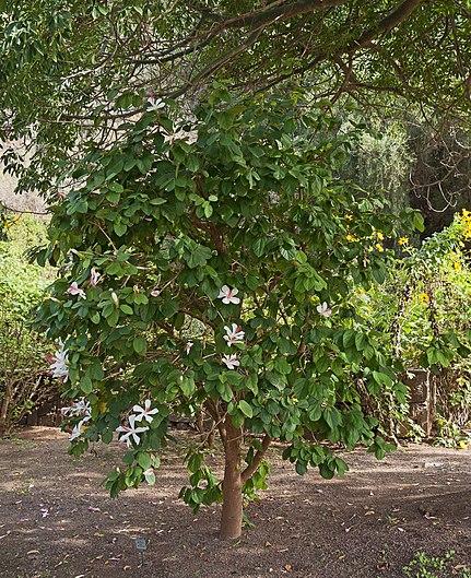 Hibiscus arnottianus - Jardín Botánico Canario Viera y Clavijo - Gran Canaria.jpg